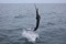 jumping sailfish 104
