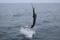 jumping sailfish 104