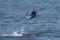 jumping sailfish 124