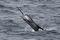 jumping sailfish 129