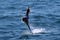 jumping sailfish 189