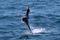 jumping sailfish 189