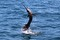 jumping sailfish 191