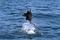 jumping sailfish 192