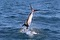 jumping sailfish 193