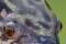 giant-snakehead 005