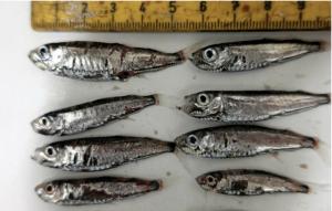 Mesopelagisk fisk. Arkivbild.