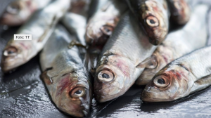 Snart har halva Östersjön strömming med dioxinvärden under EU:s gränsvärde. Foto: TT