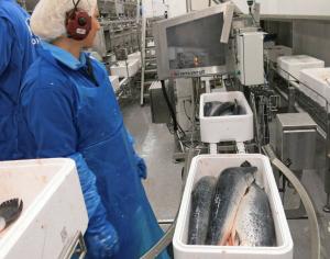 MEST ISOPORKASSER: Pakking av laks i isoporkasser på Grieg Seafood Finnmark sitt lakseslakteri i Alta. Isoporkasser er den klart mest vanlige emballasjen for sjømat. FOTO: AGNAR BERG