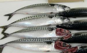 TYNNERE: Makrellen blir tynnere og lettere samtidig som den krever mer av maten i havet. Dette er eksemplarer fra i september i fjor da makrellen skulle være på sitt feiteste. FOTO: PRIVAT