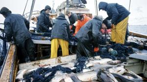 Den delen av verdensfiskeproduksjon som kommer fra fangst har vært noenlunde konstant siden 1990. FOTO: SVEIN HAMMERSTAD / NTB SCANPIX