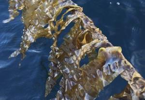 Austevoll Seaweed Farm produserer for øyeblikket sukkertare hovedsaklig til human konsum. Foto: Austevoll Seaweed Farm.