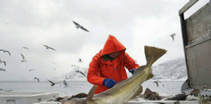 Cod onboard a Norway Seafoods vessel. Photo: Ingun A. Mahlum