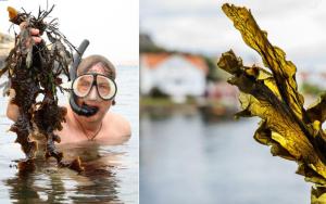 Docent Fredrik Gröndahl är projektledare för det tvärvetenskapliga forskningsprojektet Seafarm, här i aktion med cyklop och snorkel på jakt efter nya fynd av tång. Bild: Privat, Lisa Thanner