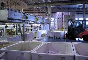 Fjordlaks prøver ut nye produksjonsmetoder ved anlegget i Troms. Her fra anlegget i Ålesund. ARKIVFOTO: MORTEN HJERTØ