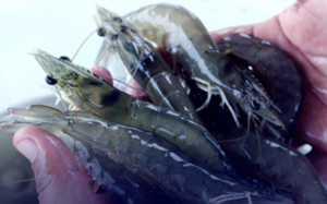 Photo courtesy of Sustainable Shrimp Partnership