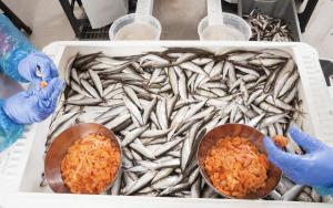 Kalix löjrom utvinns ur siklöjan som fiskas i Bottenviken. Det är enbart rom från siklöja fiskad och bearbetad inom kommunerna Haparanda, Kalix, Luleå och Piteå som får kallas Kalix löjrom. Arkivbild.
