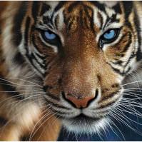 Bild 3D - Tiger Blå Ögon