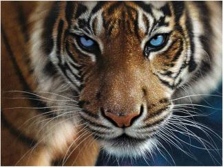 Bild 3D - Tiger Blå Ögon -