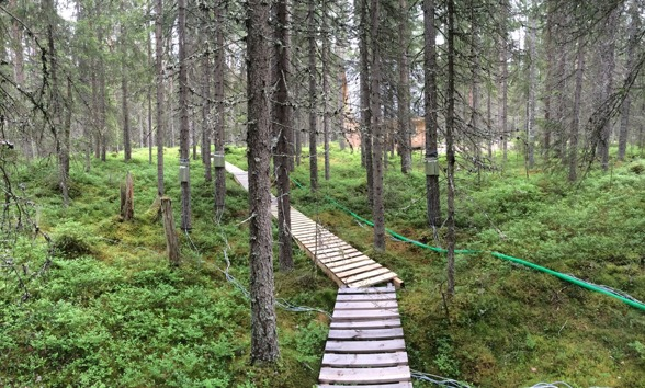 Sap flow sensors on spruces at Svartberget.