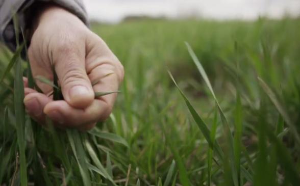 Bild från SVT dokumentären Sista skörden där Tim Crews från The Land Institute, Kansas USA, beskriver den fleråriga vetesläktingen Kernza® som växer på Lönnstorp.
