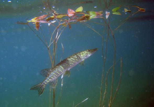 Gädda i sjö i Dalarna. Pike (Esox lucius). Fotograf: Anders Asp, SLU
