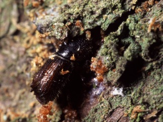 Photo 2: Male of Spruce Bark beetle entering the bark. Photographer: Göran Birgersson.