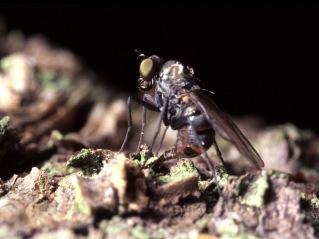 Photo 3: Female of Medetera. Photographer: Göran Birgersson.
