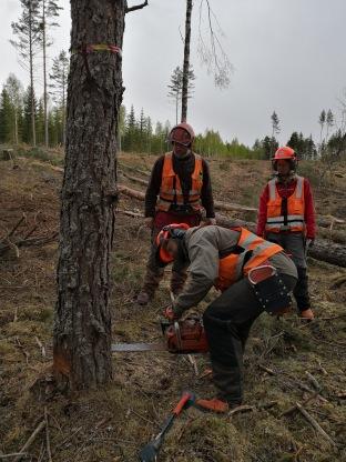 Två av Grimsös fälttekniker samt kursledaren (till vänster) i arbete under motorsågsutbildning vid Grimsö 6-8 maj i år. Photo; Madeleine Christiansson.