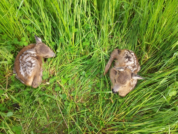 A pair of roe deer siblings, age ca 5 days, that right after the photo was taken got marked with small telemetry transmitters. Photo; Madeleine Christiansson.