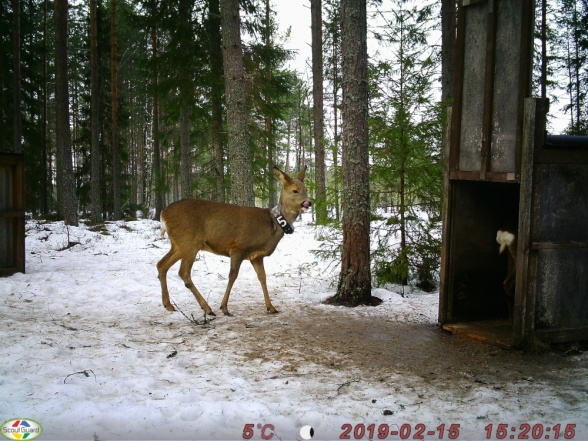 A photo from one of the wildlife cameras at Grimsö, showing two roe deer, one collared and one inside the trap (not trigged at the time). The data series on marked roe deer started in 1976 and is one of the longest time-series in the Grimsö base program.