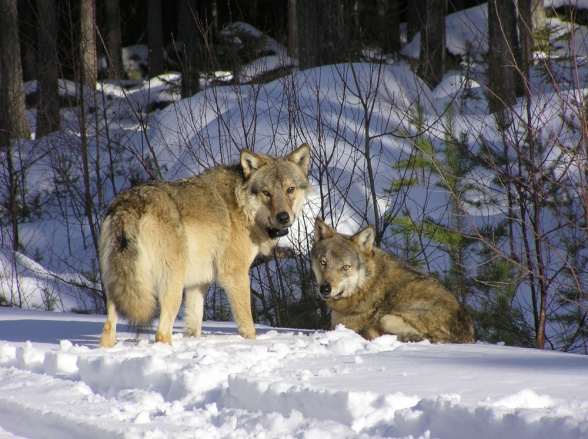 A territorial wolf pair with GPS-collars, studied in Scandinavian research projects. Photo: Åke Aronsson.