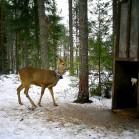 A photo from one of the wildlife cameras at Grimsö, showing two roe deer, one inside a trap.