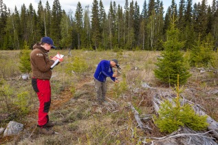 Svartberget field technicians Hassan Ridha and Ellika Hermansson measure the growth and overall condition of spruce trees in a previous trial. Photo: Andreas Palmén.