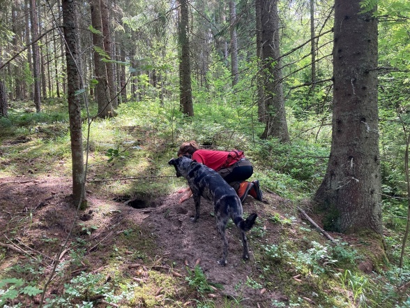One of the dens checked for signs of reproduction of fox and badger. A trained dog could be very useful in this work when it comes to separate ongoing versus earlier use of a den. Photo: Gunnar Jansson.