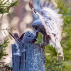 Great grey owls reproduced within the Grimsö research area. The picture shows one of the parents feeding the young with a vole. Photo: Rick Heeres.
