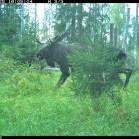 En älgtjur fångad av en av Grimsös viltkameror.