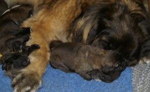 Lady & en vecka gamla valpar har siesta!