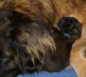 Laban och Lady sover!