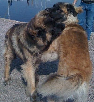 Laban & Jaxa återser varandra efter vinteruppehållet!