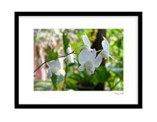 Vit Orchide
