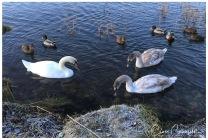 Svan mor med sina avkomor - Kalmar 2017 LR