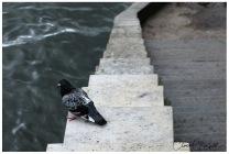 Duvan vilar sig steg för steg - Paris 2017 R L