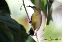 Olivryggad Solfågel 1