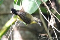 Olivryggad Solfågel 3