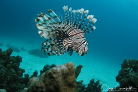 Lionfish Thailand - Dykning