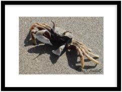 See Crab