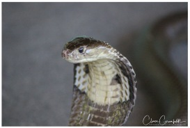Monokel Cobra - Klong Khong Snakeshow 2015 R