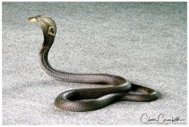 Monokel Cobra - Klong Khong Snakeshow 2011 R