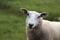 Texel får
